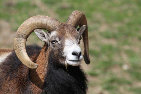 Mouflon1reduc